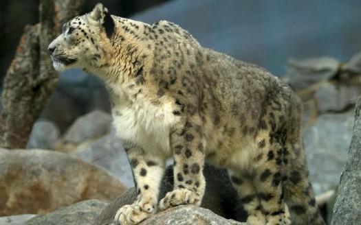 Leopardo de las nieves - Aaron Logan
