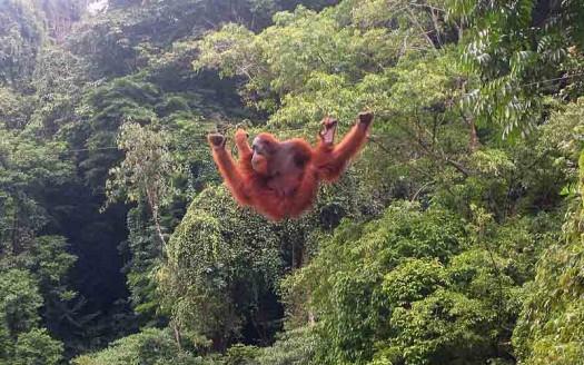 Orangután en Bukit Lawang, Sumatra (Indonesia) - Tbachner