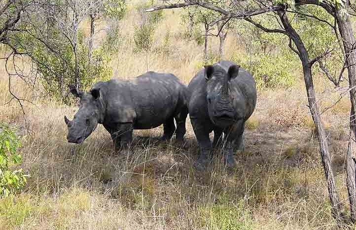Rinocerontes en Parque Nacional Kruger, Sudáfrica - Esculapio | namasteviajes.com