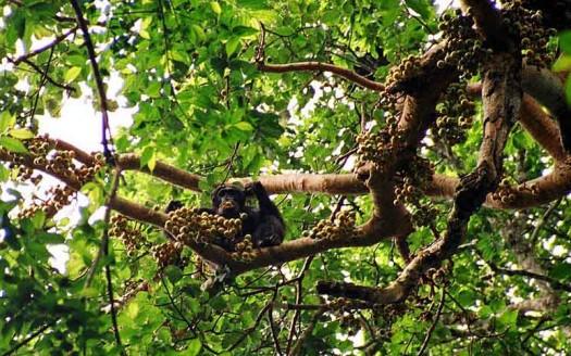 Chimpancé, Parque Nacional Kibale (Uganda) - Drrobert de Wikipedia en inglés | namasteviajes.com
