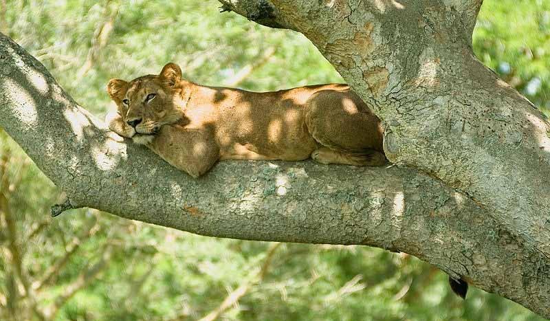 Leona, Parque Nacional Queen Elisabeth (Uganda) - Cody Pope | namasteviajes.com